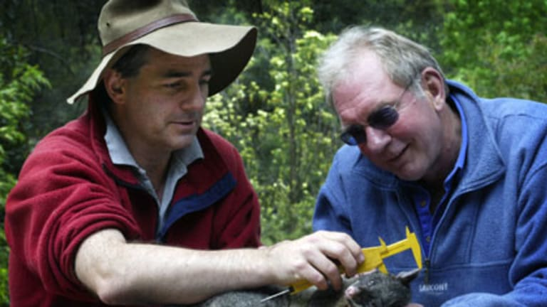 Australian National University ecologist, Professor David Lindenmayer (left), and Associate Professor Ross Sunningham measure the ear length of a sedated Mountain Brushtrail Possum as part of a13-year study on possums in the Marysville area.