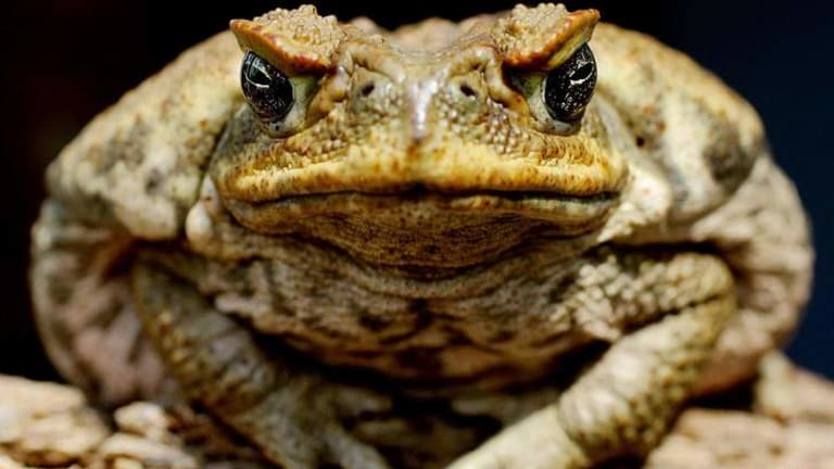 Cane toads are abandoning their nocturnal ways, a new study has found.