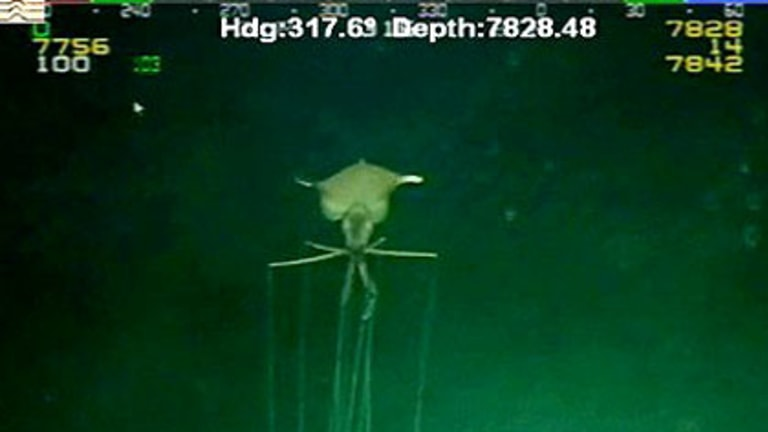 'What is it?' ... The rare Magnapinna squid.