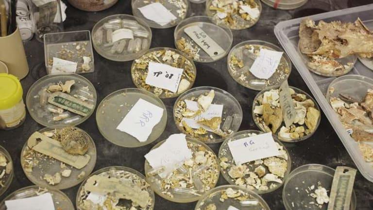 Pieces of the puzzle … fragments of thylacine bones.