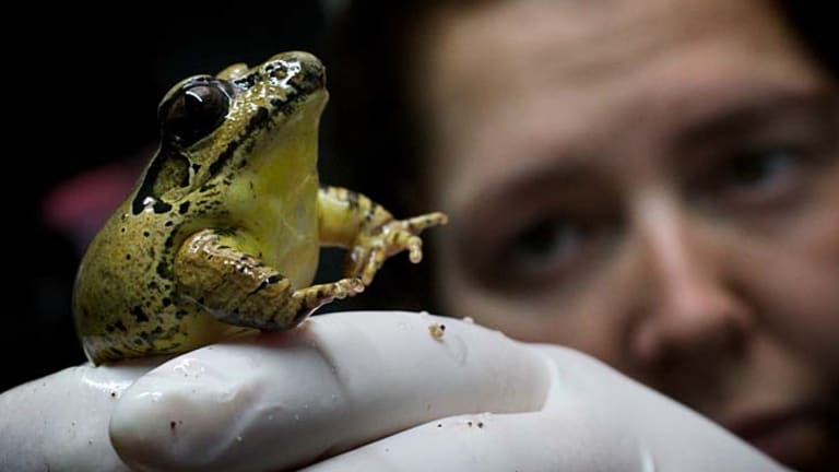 Amphibian keeper Raelene Hobbs holds one of the stuttering frogs at Melbourne Zoo.