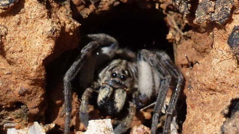 One of four new burrowing wolf spider species.
