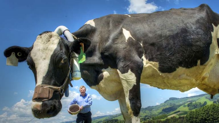 Grape expectations ... Dr Peter Moate, from Victoria's Department of Primary Industries, is pleased by findings that feeding marc to dairy cattle can cut the amount of methane they release by 20 per cent.