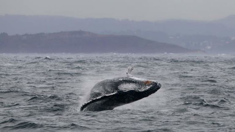 A Humpback Whale breaches off Sydney's Northern Beaches