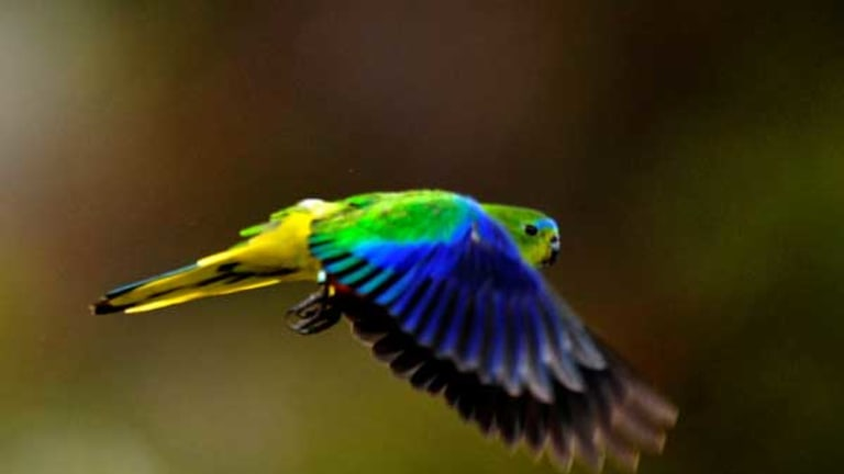 An object of beauty, critically endangered: the orange-bellied parrot in flight.