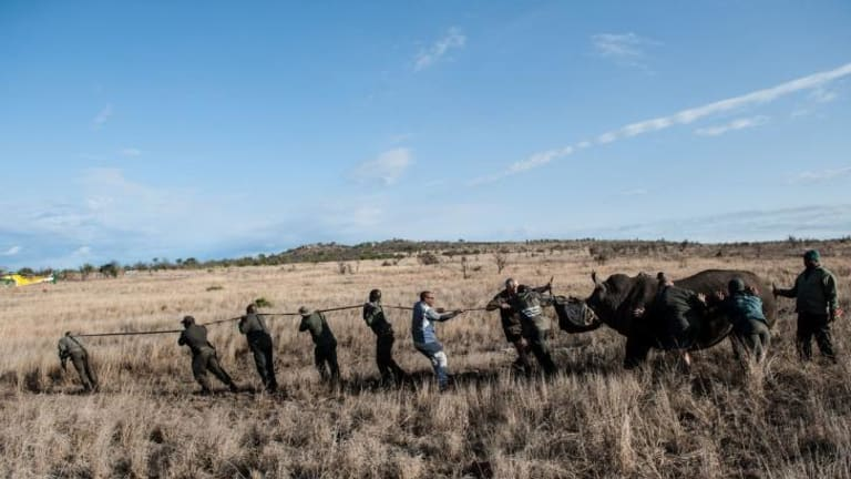 Members of the Kruger National Park Veterinary Wildlife Services in South Africa guide a sedated white rhino towards a loading truck as part of efforts to safeguard rhinos  from poachers.