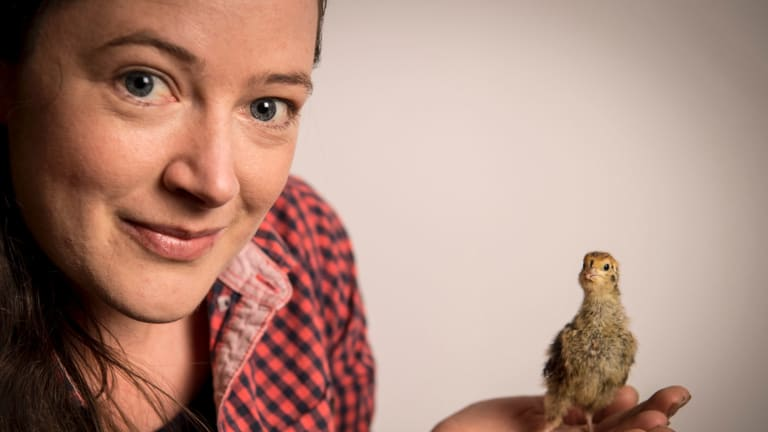 Hey, chicky: Kat Lavers and one of her quail chicks, or 'quicks' born last week at her Northcote house.