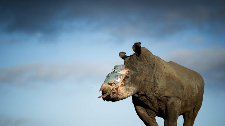 A female rhino was lucky to survive a poaching attack thanks to intervention by specialist medical staff in South Africa. Overall the threat to rhinos remains at a critical level.