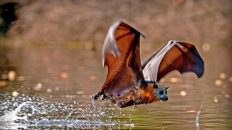 Heat relief: on hot days, flying foxes - like this grey-headed flying fox - dip their bellies into water to cool down.