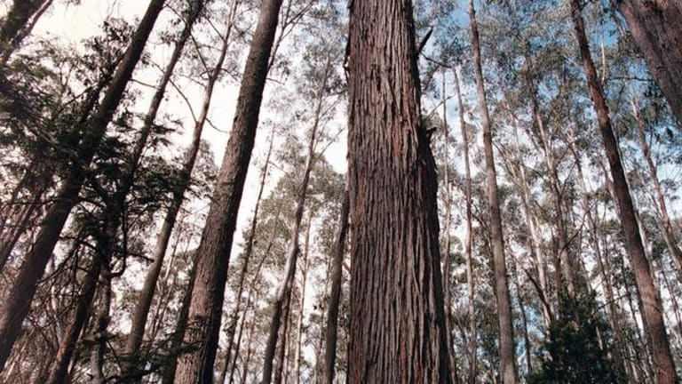 VicForests have been accused of logging a protected site of significance for rainforests.