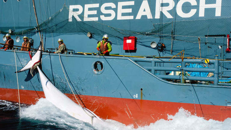 Stop order: Yushin Maru No.2, with a minke whale in the Southern Ocean.