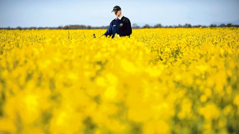 Fields of genetically modified gold have farmers smiling andrew weidemann amid some of the genetically modified canola on his rupanyup farm its mightylinksfo