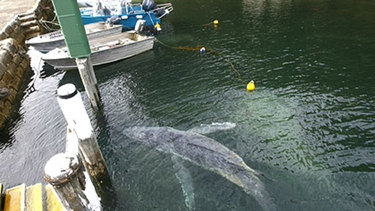 Abandoned whale ... the motherless humpback passes under a wharf.