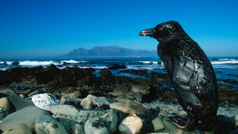 A Jackass Penguin covered in oil from an oil spill off the coast of South Africa's Robben Island.