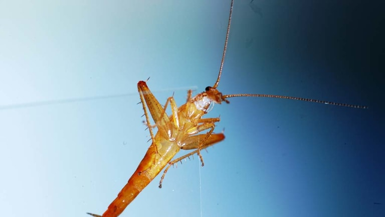 This photo supplied by the University of Cape Town shows a Cape cockroach that can jump and has been named as one of the world's new top 10 species.