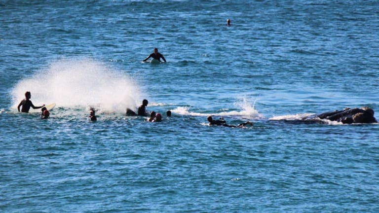 Surfer knocked unconscious as 10-metre whale tosses Bondi boarders with its tail