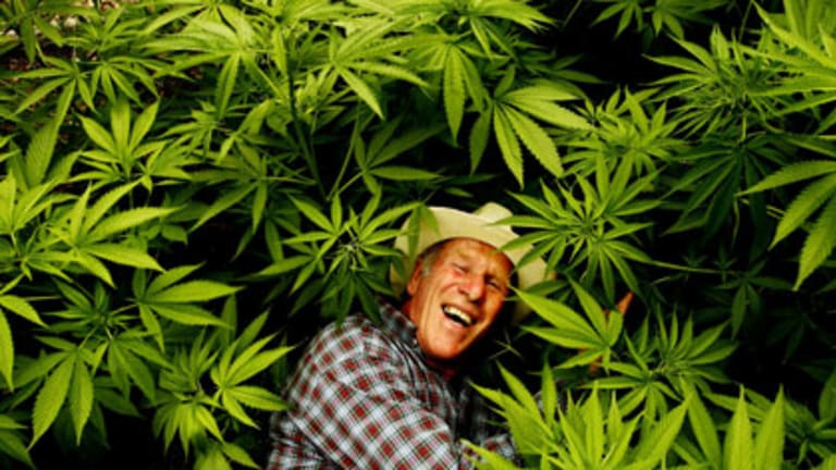 Rolling in it ... Richard Friar with some of the 500 hemp plants at his northern beaches plantation. He is part of a  pilot project to commercialise the harvest.