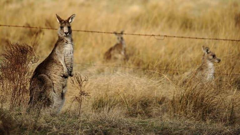 Mobs of kangaroos graze throughout the Namadgi National park.