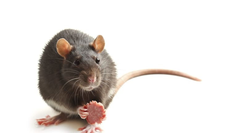 """Almost everywhere humans have built their cities, rats have set up their homes -€"""" to live with us and off us."""
