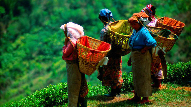Fancy a cuppa … tea pickers pluck the leaves that have made Darjeeling famous.
