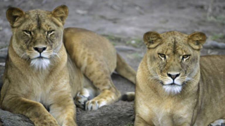 Zookeeper error... Bingi, left, and Jameila at Mogo Zoo.