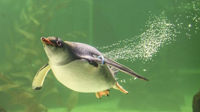 A penguin leaves a tell-tale trail of bubbles in its wake.