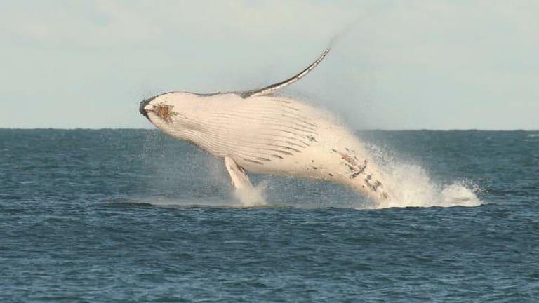 Breaching humpack whale.