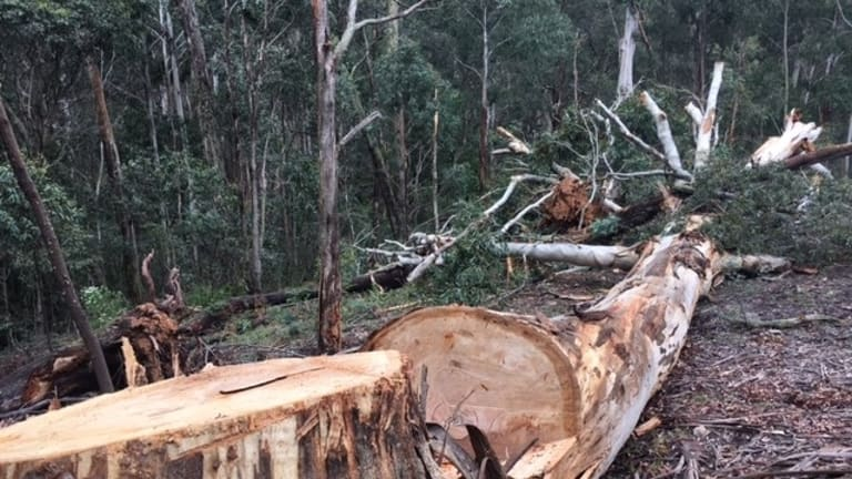 It looks like this tree was felled using a chainsaw - it's a pretty clean cut.