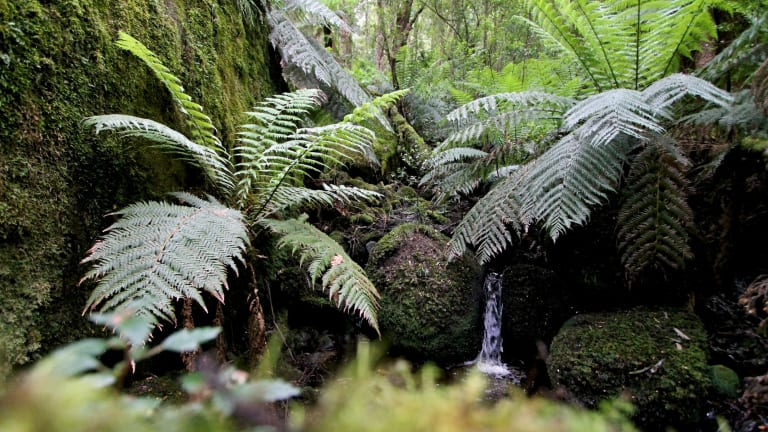 Gippsland forest at Mount Erica.