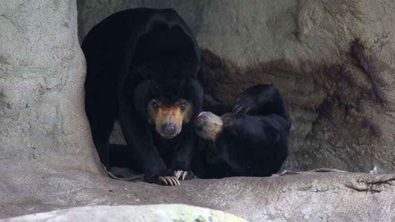 The sun bears at Taronga Zoo, Sydney. Mr Hobbs, left, was rescued from Cambodia where he was about to be killed to make bear paw soup.