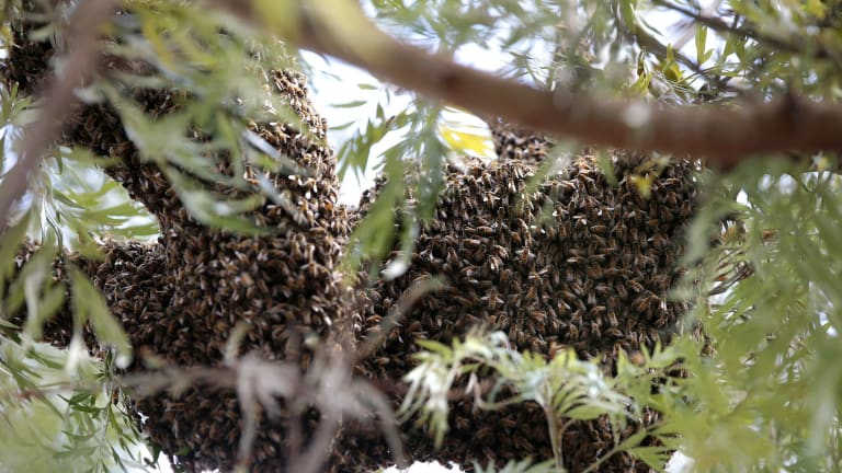 A swarm of over 60,000 bees up a tree at the back of Stephen Beggs'  home, Theodore.