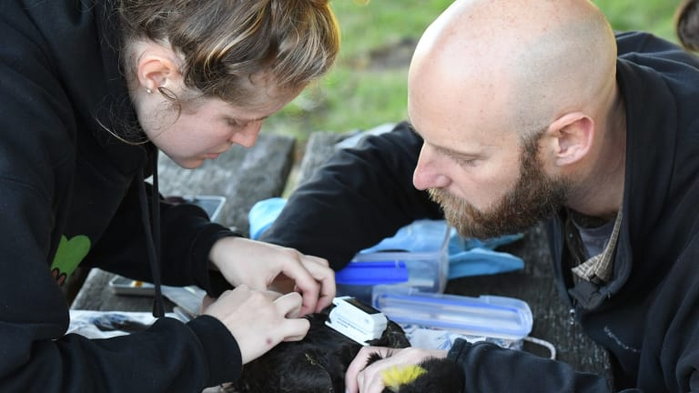 Researchers John Martin and Jessica Rooke fit a GPS tracker to a yellow-tailed black cockatoo.