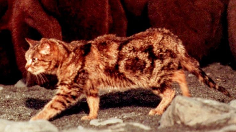 Proponents say curiosity can reduce feral cat numbers by 80 per cent.