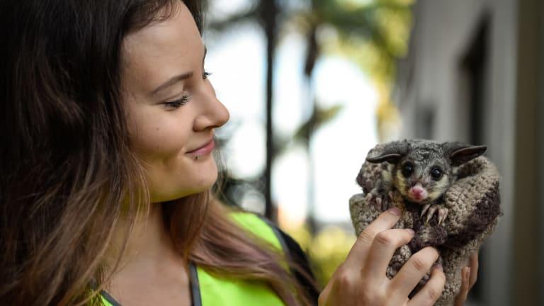 Hello, possum: WIRES volunteer Natalie Higgs and a baby brushtail possum.