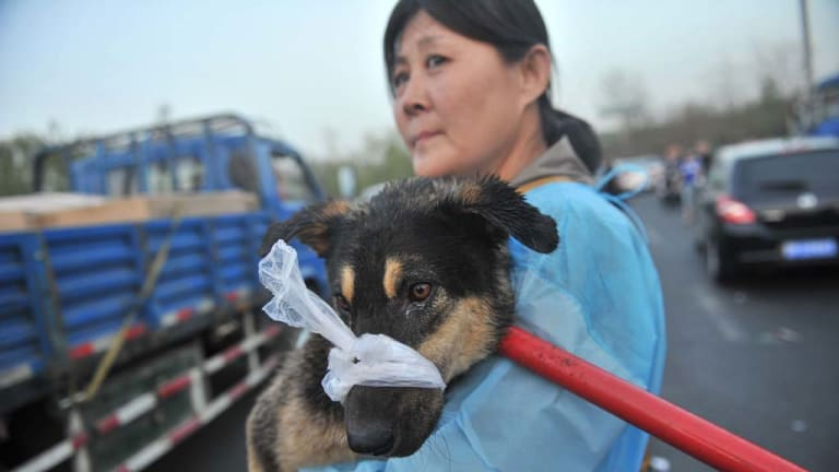 A Chinese animal lover rescues a sick dog after a convoy of trucks carrying some 500 dogs to be sold as meat, were stopped along a highway in Beijing.