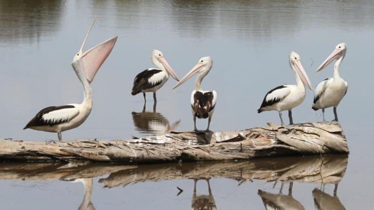 Pelicans at the Jerrabomberra Wetlands, near Canberra.