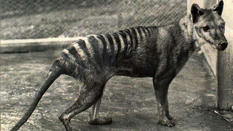 The extinct thylacine.