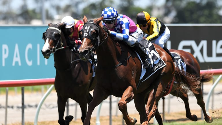 Golden girl: Zafina delivered an unlikely win at the Magic Millions on the Gold Coast.