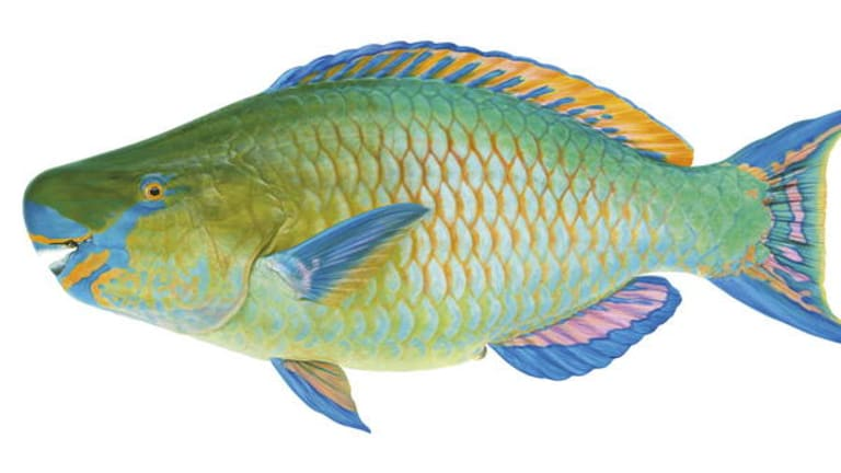 Blackvein Parrotfish from Swainston's <i>Fishes of Australia</i>.