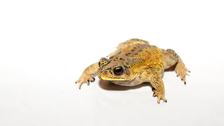 Asian black-spined Toad. The colder climate version of the cane toad.