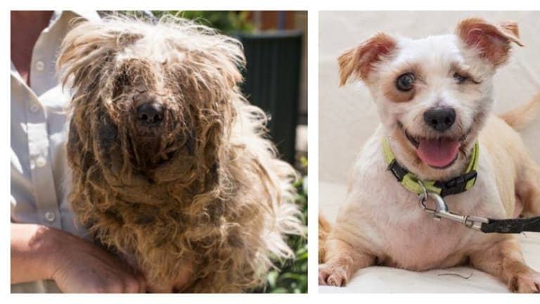 The before and after photos of Lochie are heart-rending, showing his severe neglect and the work of the RSPCA ACT to put a smile back on his cheeky face.