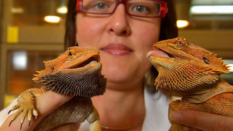 Dr. Devi Stuart-Fox is studying the colour change of bearded dragon's beards.