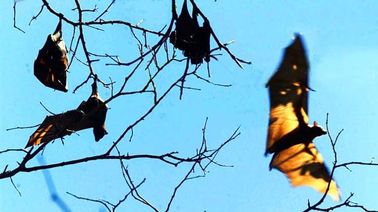 A Queensland boy has become Australia's third victim of the bat-borne lyssavirus.