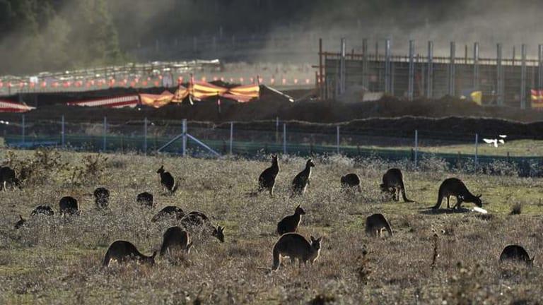 A mob of Kangaroos near Mount Majura.