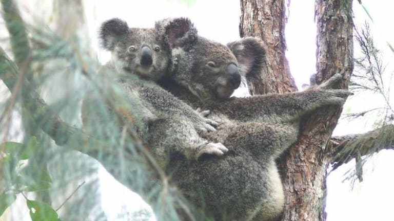 There are concerns these koalas won't survive if the bypass goes ahead as planned.