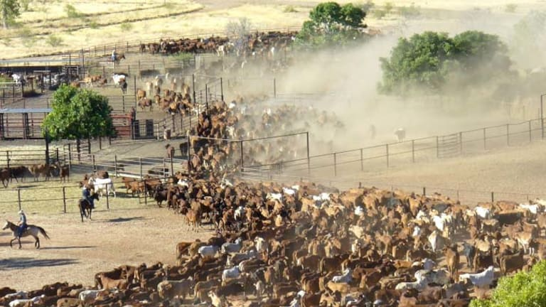 Cattle at Moola Bulla Station, near Halls Creek in Western Australia.