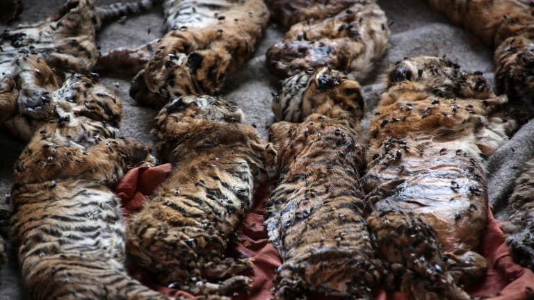 The carcasses of 40 tiger cubs found undeclared are displayed at Tiger Temple on Wednesday.