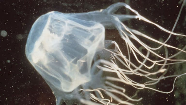 Queensland Health will wait to see more evidence before changing its guidelines on treating box jellyfish stings.