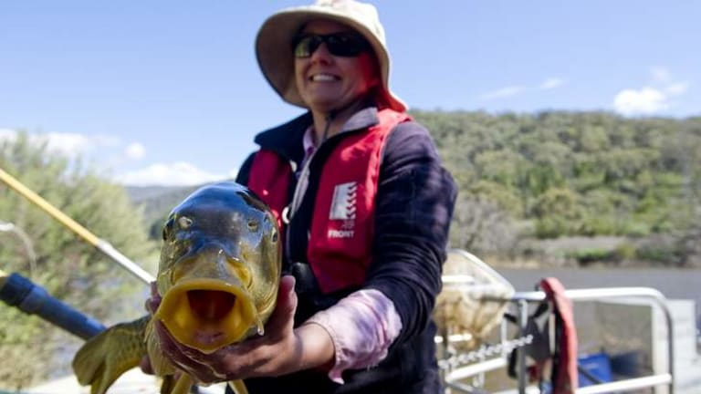 Senior fisheries technician Prue McGuffie of the NSW Department of Primary Industries with a carp that didn't get away.