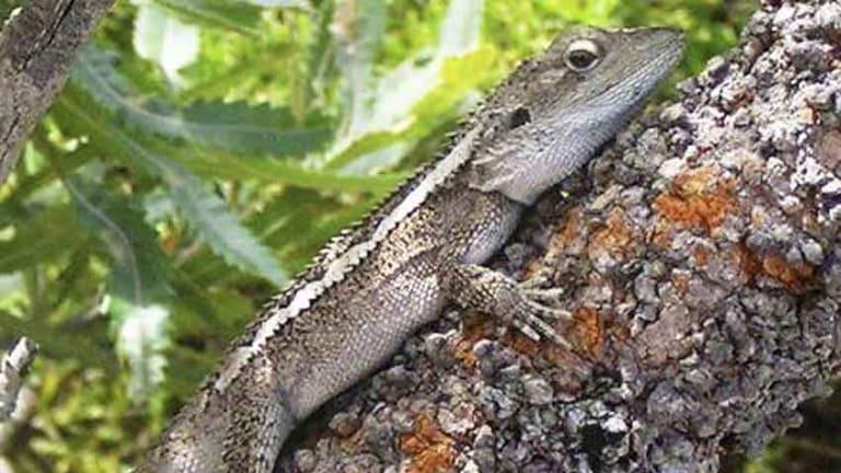 A Jacky lizard